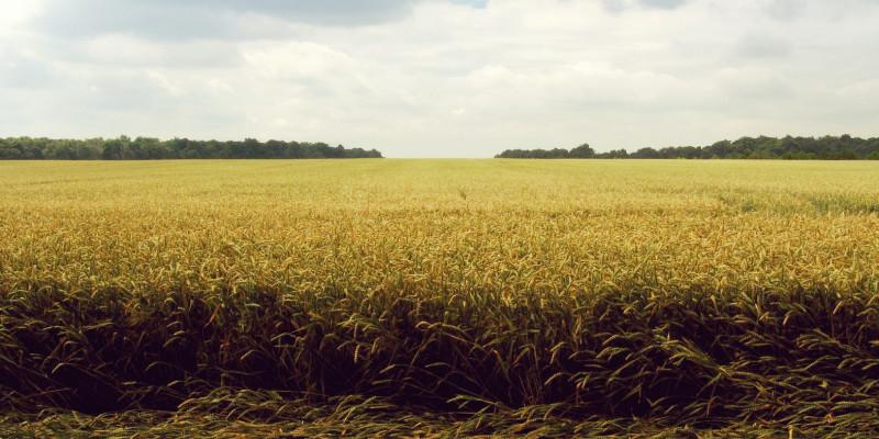 Angepasste Getreidesorten halten Trockenheit und Hitze besser aus.