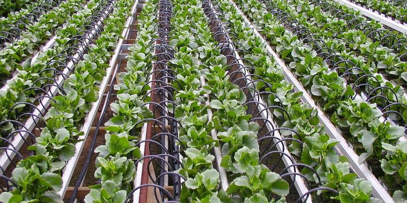 Tropfbewässerung spart Wasser beim Salatanbau