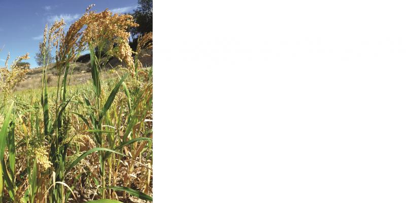 Das Bild zeigt ein Feld mit blühenden Hirsepflanzen in Nahaufnahme.