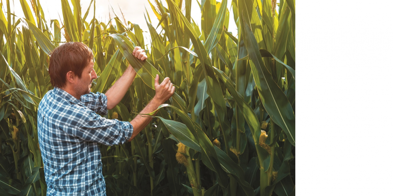 The picture shows a man standing in a maize field examining the leaves of a maize plant.