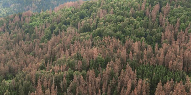Das Bild zeigt einen dicht mit Nadelbäumen bestandenen Hang. Rund ein Drittel der Fichten sind abgestorben.