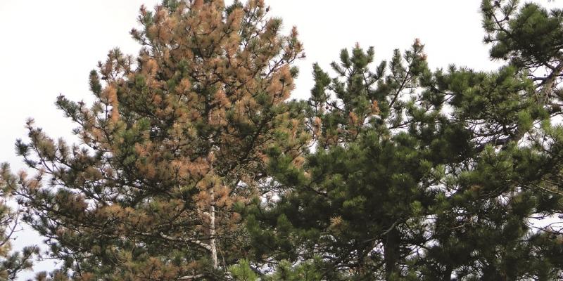 Das Bild zeigt eine Kiefernkrone mit starken Trockenschäden.