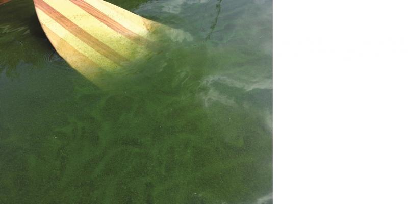 Das Bild zeigt ein Bootspaddel, das in Wasser mit starker Blaualgenentwicklung eintaucht.
