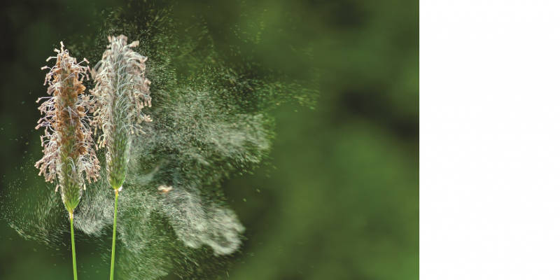 Das Bild zeigt zwei Graspflanzen, die in voller Blüte stehen und eine Wolke von Graspollen absondern.