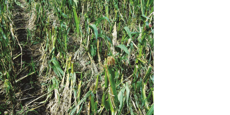 Das Bild zeigt ein Maisfeld. Die Maispflanzen sind abgeknickt und zerfetzt und kaum mehr als solche zu erkennen.