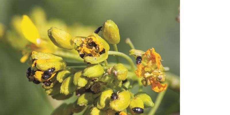 Das Bild zeigt eine Nahaufnahme einer Rapsblüte, in der zahlreiche schwarze Käfer sitzen, die an den Blüten fressen.