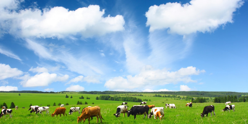 Cows standing on a green meadow. The sky is blue, only some clouds are visible.