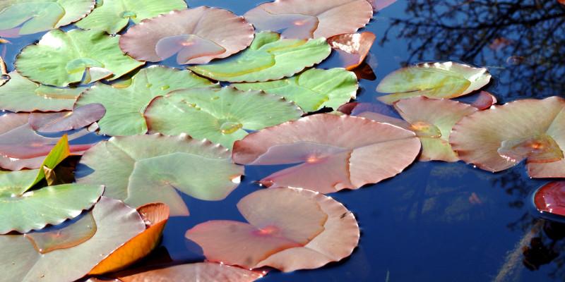 Große braune und grüne Seerosenblätter auf einem Teich