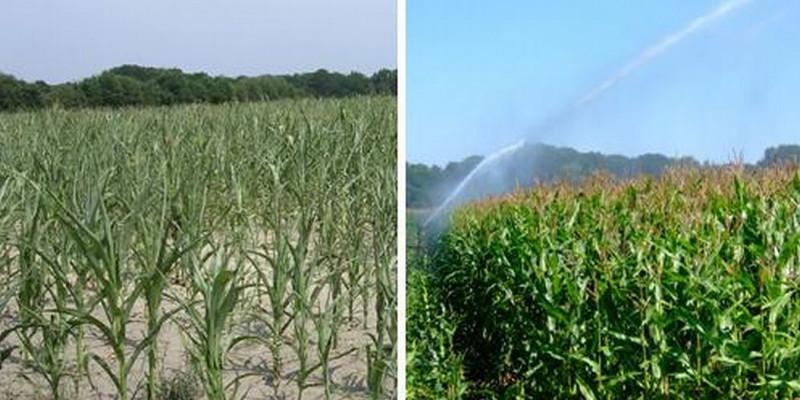 Unberegneter Mais und beregneter Mais im Vergleich zu sehen