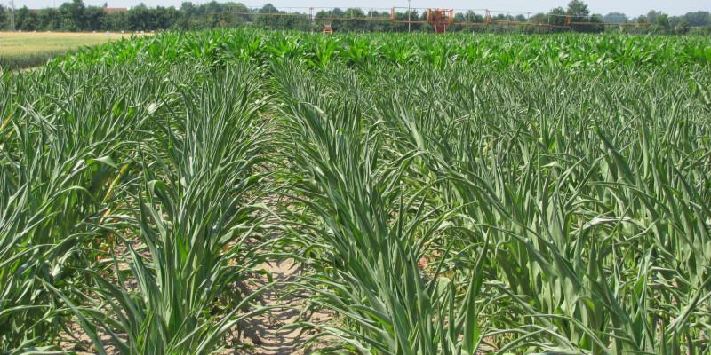 Im Vordergrund unberegneter Mais und im Hintergrund beregneter Mais im Vergleich zu sehen