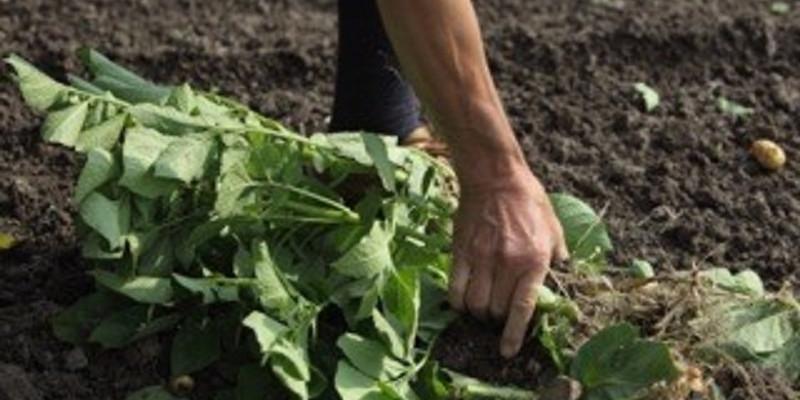 Eine Hand zieht die Kartoffeln am Grünwuchs aus der dunklen Erde heraus.
