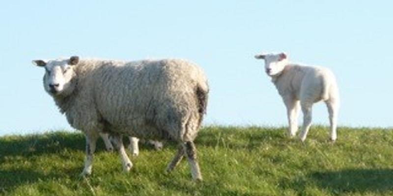 Das Mutterschaf steht mit einem Lamm auf der Salzwiese und schauen in die Kamera.