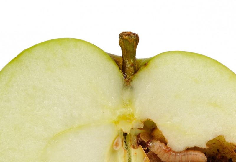 In einem halbierten grünen Apfel sitzt ein Wurm