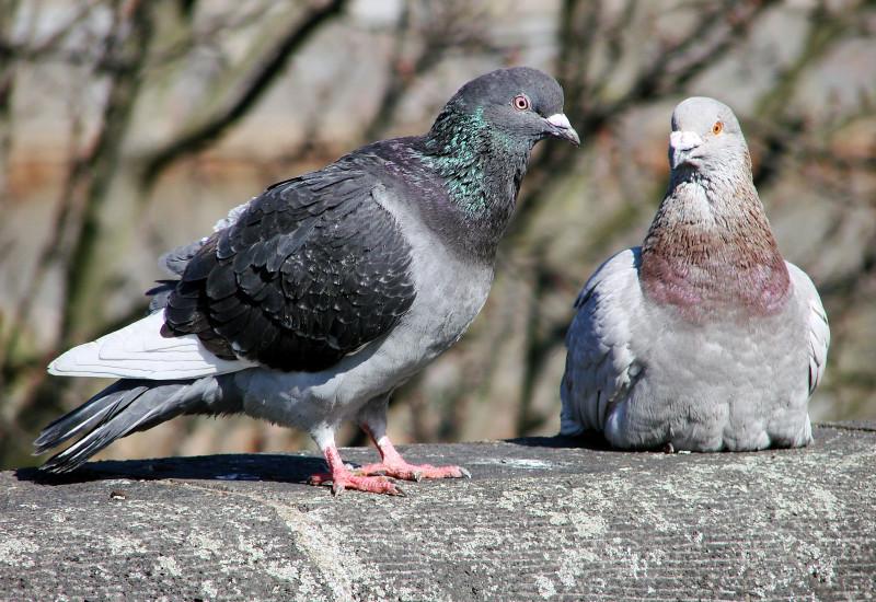 Zwei graue Haustauben