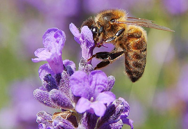 Honigbiene auf einer Blume