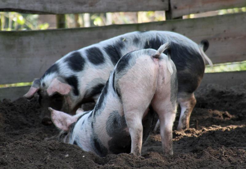 Zwei Schweine wühlen im Dreck