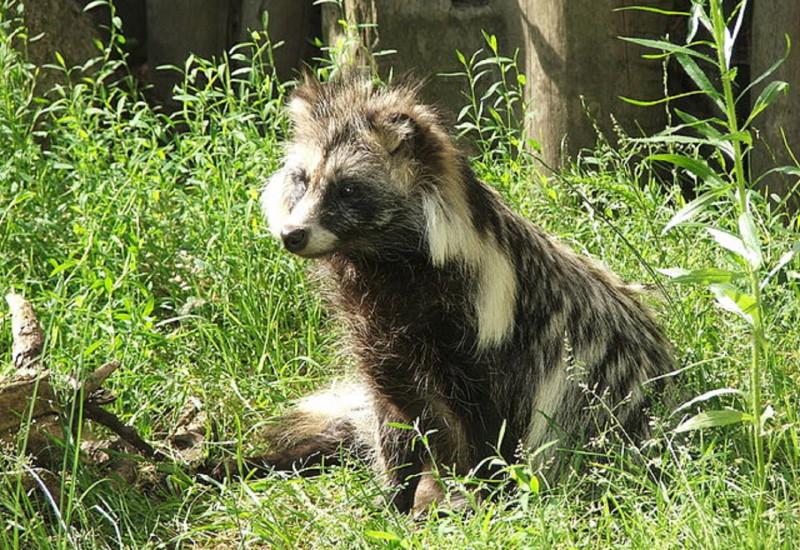Marderhund auf einer Wiese im Zoo
