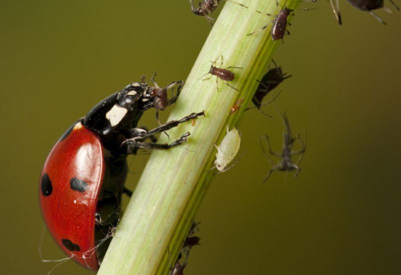 Marienkäfer bei der Blattlausmahlzeit