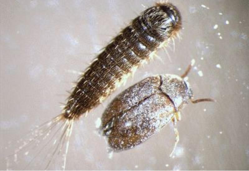 Männlicher adulter Käfer und Larve eines Braunen Pelzkäfers