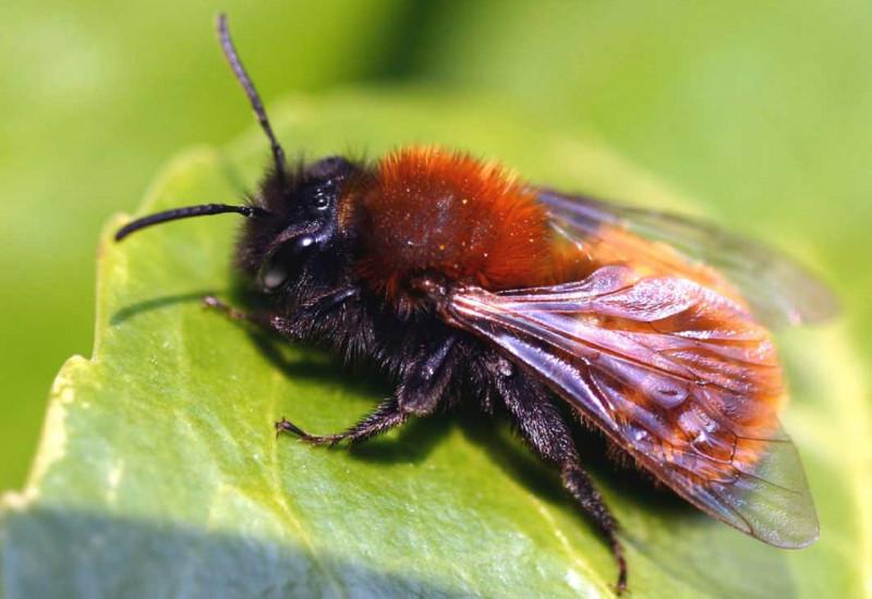 Weibliche Rotpelzige Sandbiene auf einem Blatt