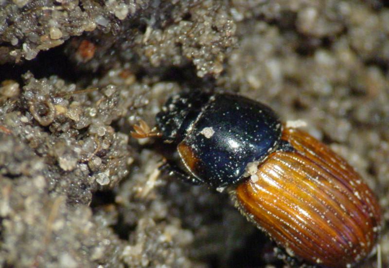 Das Bild zeigt einen Dungkäfer der Art Aphodius (Agrilinus) constans aus einem Zuchtansatz. Diese Käfer sind Standardtestorganismen (nach OECD Guidance Document 122) in der Umweltrisikobewertung von Antiparasitika zur Behandlungen auf der Weide.