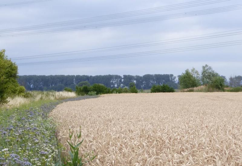 Das Bild zeigt einen Blühstreifen am Ackerrand mit Wildblumen neben einem Weizenfeld.