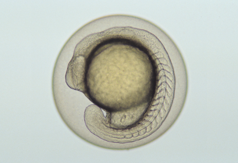 Fish Embryo
