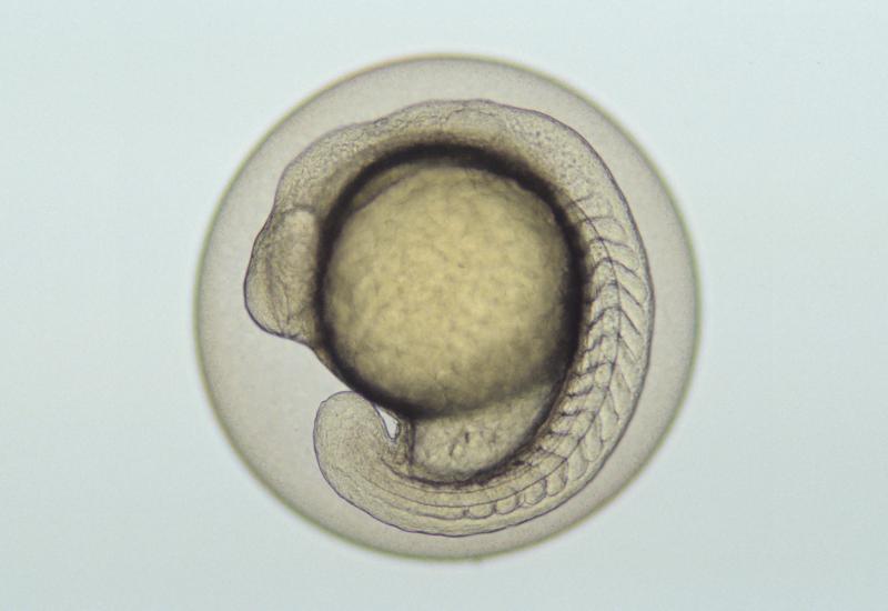 Fischembryo