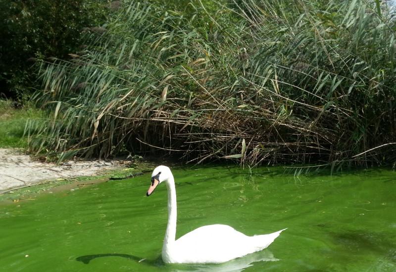 Grüne Wasserfläche, hervorgerufen durch Algenblüte mit einem weißen Schwan.