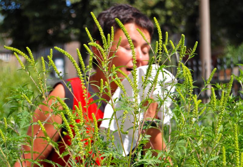 Frau steht vor hohen, gelb blühenden Ambrosiapflanzen und muss niesen