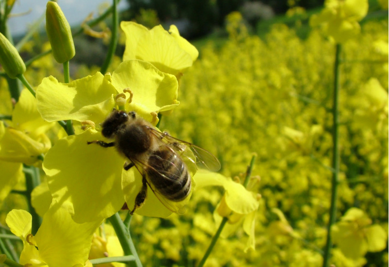 Biene an einer Rapsblüte