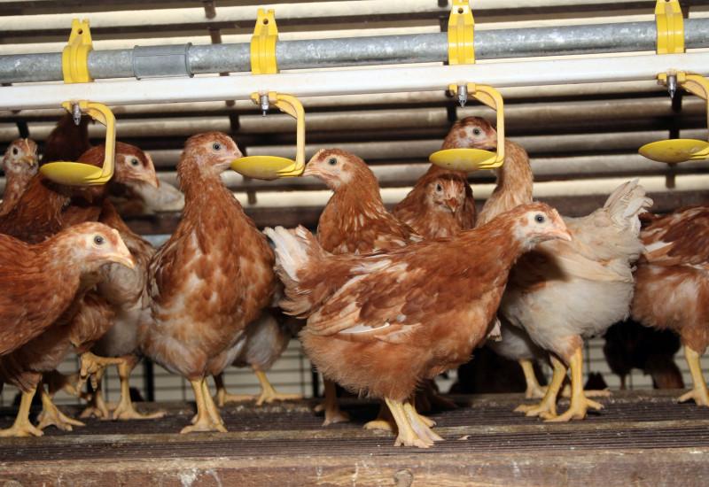 Hühner dicht gedrängt auf einem Metallrost trinken oder essen aus Vorrichtungen