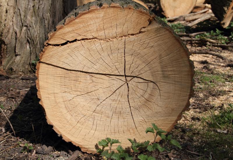 dicker gefällter Baumstamm im Wald