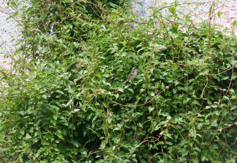 In einem Gebüsch vor einer Mauer sitzt ein Spatz.