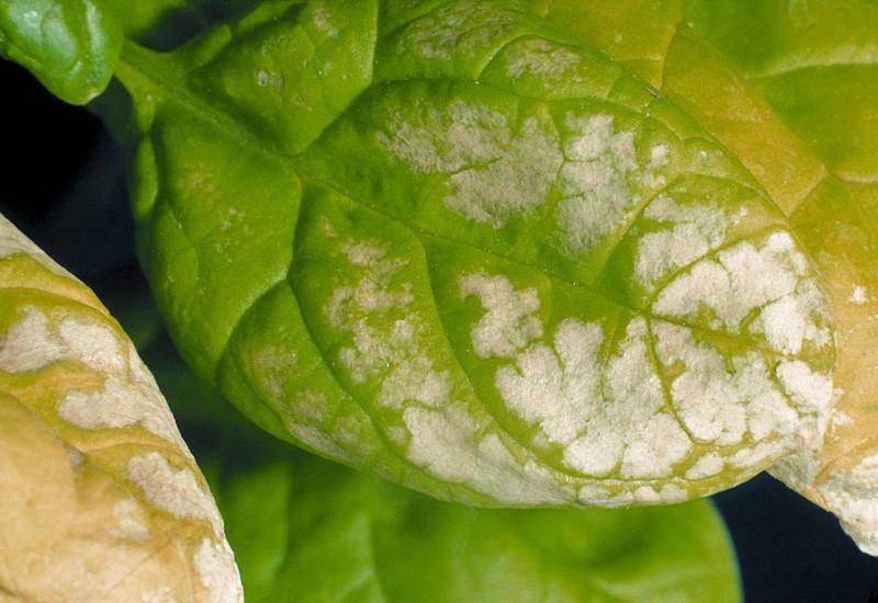 Spinatblätter, die zum Teil weiß oder gelb verfärbt sind