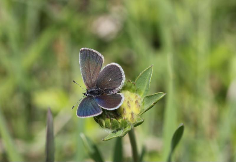blauer Schmetterling auf einer gelben Blüte einer Wiese