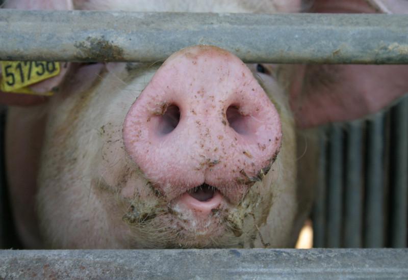 Schwein hinter Gittern in einem Stall