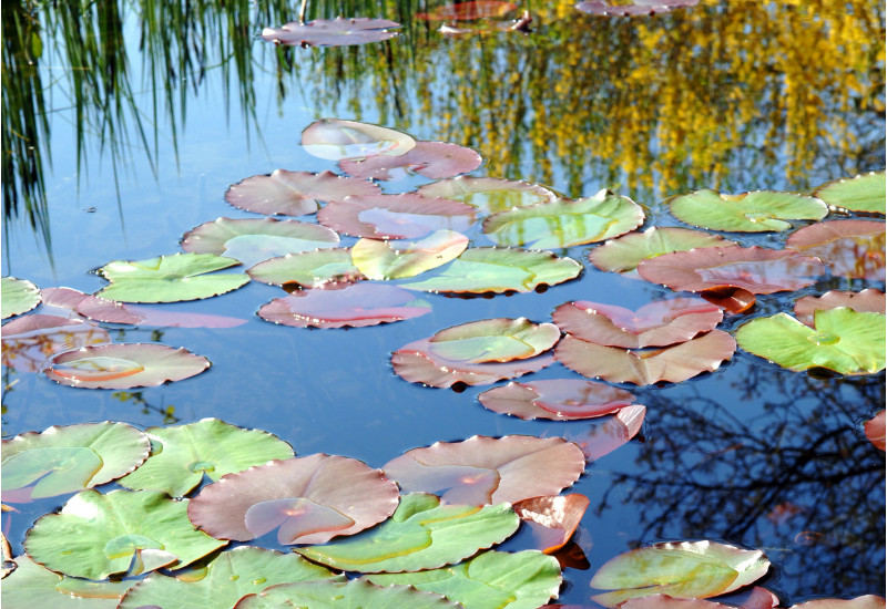 water lilies on the water surface of a lake