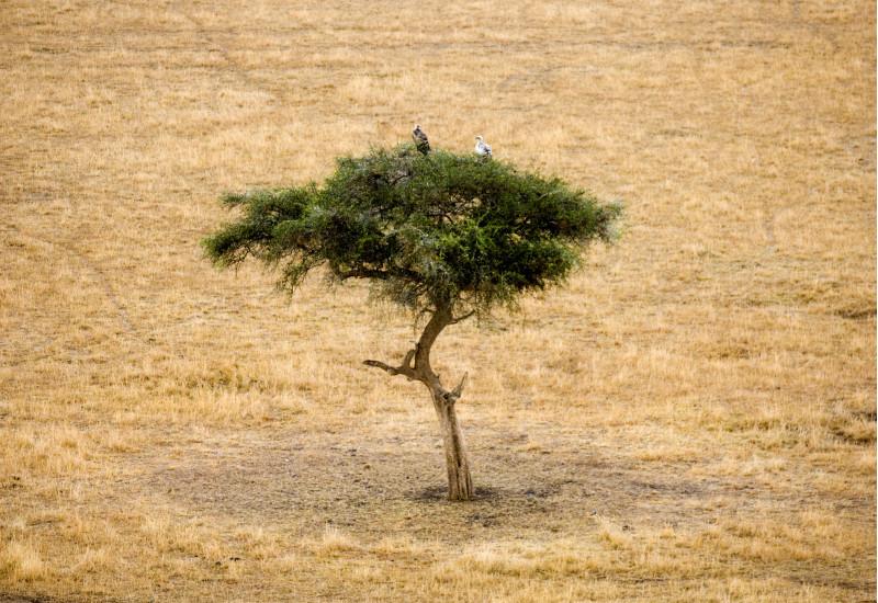 in einer ausgedörrten Graslandschaft steht ein einzelner kleiner, dürrer, grüner Baum