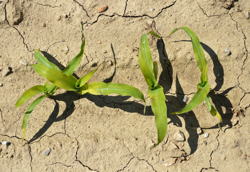 puny corn crops in very dry soil