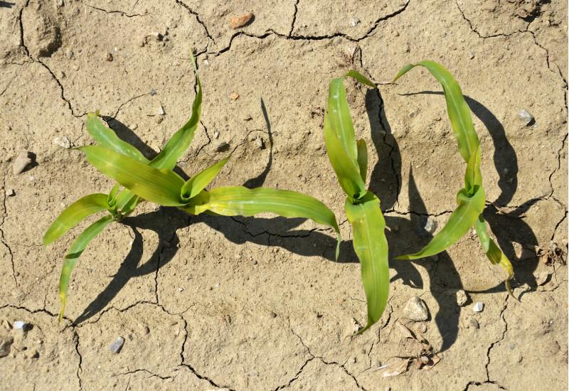 Maispflanzen auf trockenem Boden