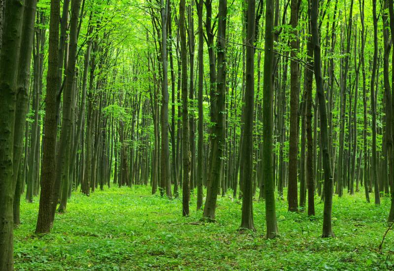 Blick in einen Laubwald, der Boden ist dicht und grün mit niedrigen Pflanzen bewachsen