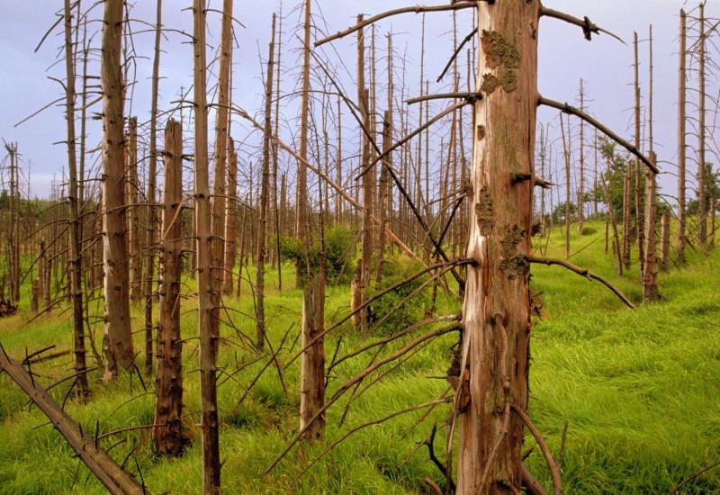 abgestorbene Nadelbäume im Wald an einem Hang