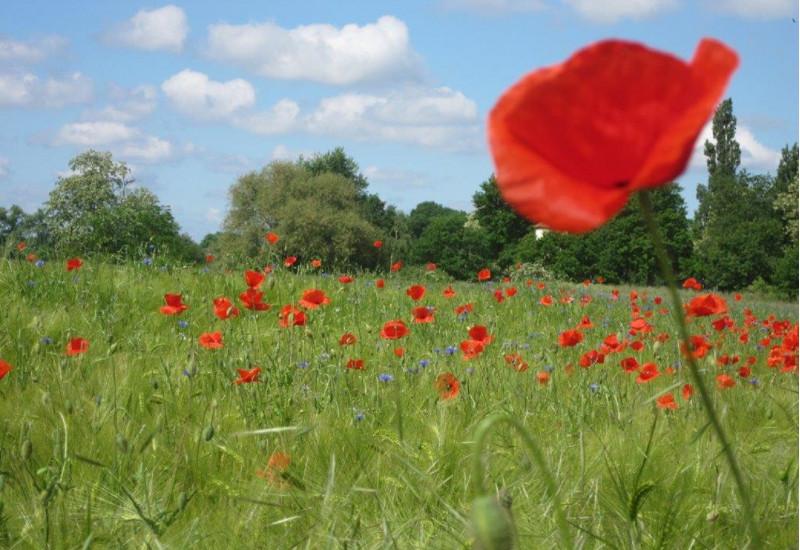 Klatschmohn und Kornblumen in einem Getreidefeld