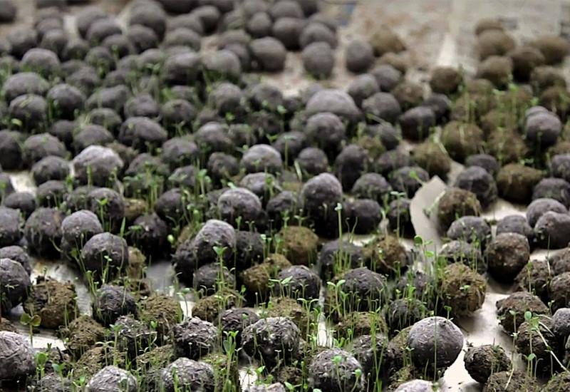 Mehrere Dutzend Saatbälle treiben auf Folien aus.