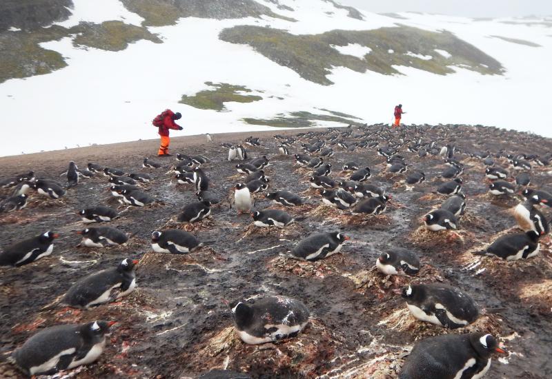 Antarktis, Ardley Island,, Fildes Peninsula, Gletscherrückzug, King George Island, Klimaveränderung, Maxwell Bay, Pinguine, Robben, Seevögel, , Pygoscelis, South Shetland Island
