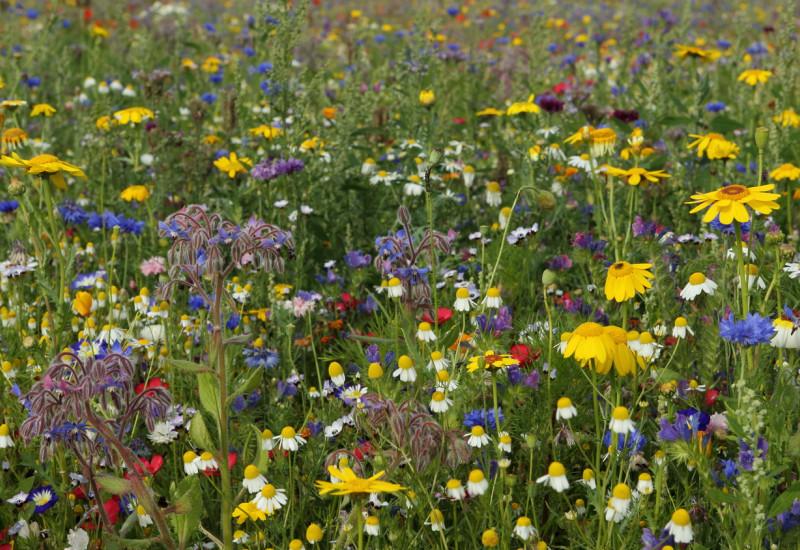 Wiese mit bunten Wildblumen