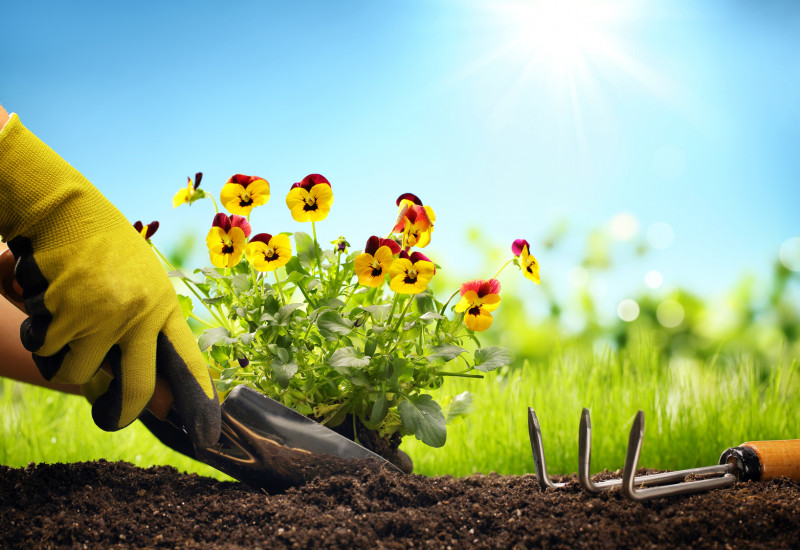ein Stiefmütterchen wird eingepflanzt