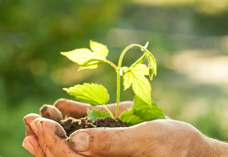 Hände halten schützend Baumsetzling mit Erde