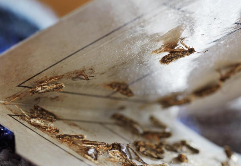 Motten in einer Klebefalle